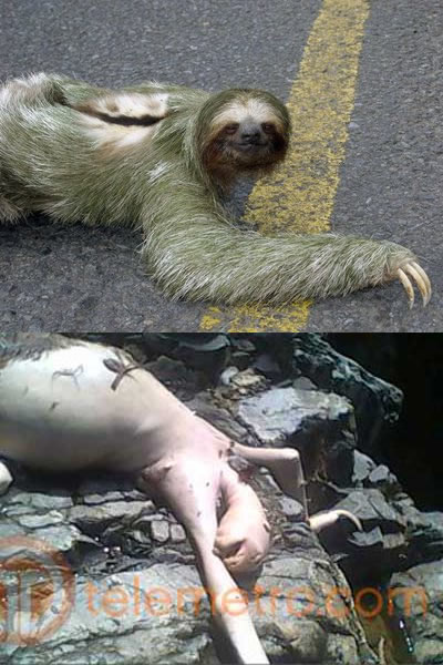 Is the Panama alien a sloth?